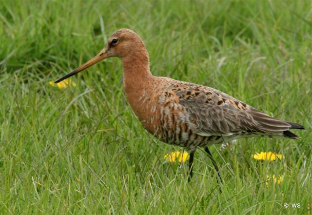 Vogelwerkgroep Berkelland - Grutto